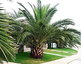 Fresh Pineapple Palm 5 Seeds Phoenix canariensis Ornamental Tree