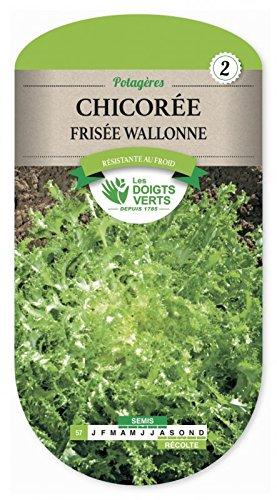Chicorée frisée Wallonne