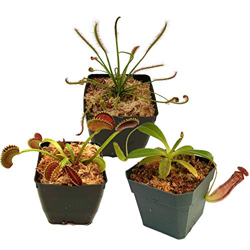 Carnivorous Plant Beginner Collection - Sundew, Venus Flytrap, Pitcher Plant - Live Adult Plants with 3' pots