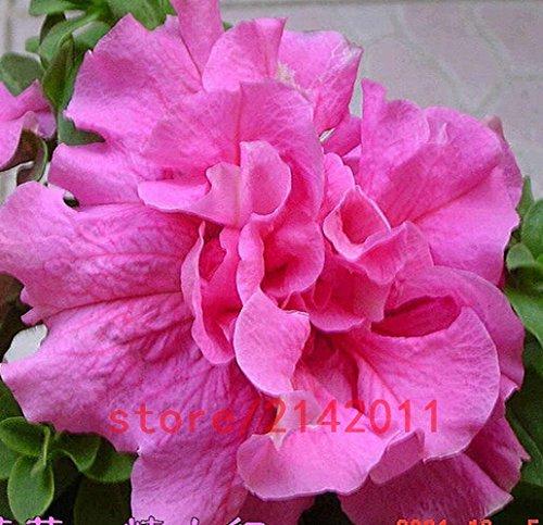100pcs / sac Hanging Petunia graines balcon pot obliques Graines Petunia Fleur Petunia plante multicolore pour la maison jardin