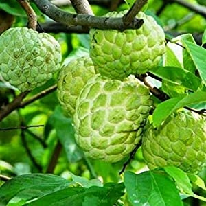 PAPCOOL Sugar Apple SẸẸDS for Plạnting | 15 SẸẸDS Rạre Sweet Sugar Apple/Custard Apple/Annona Squamosa.