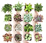 Shop Succulents Unique Collection of Live | Hand Selected for Health, Size | Pack of Succulents, Standard Box