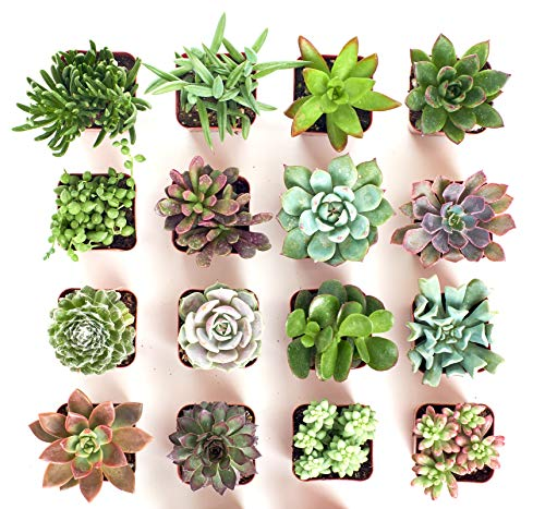 Shop Succulents | Unique Collection | Assortment of Hand Selected, Fully Rooted Live Indoor Succulent Plants, 16-Pack