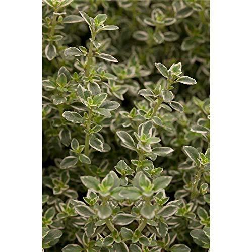 Thymus pulegioides 'Foxley' - Zitronen-Thymian 'Foxley' - 9cm Topf