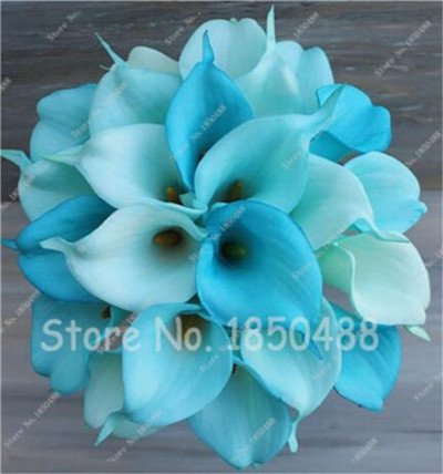 Multi-couleur Calla Fleur vrai Calla Lily Graines d'amour élégant Noble Symbolise Graines de fleurs de plantes d'intérieur Bonsai Balcon Fleur-50 10