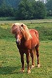1art1 Pferde - Island Pony, Isländer XXL Poster 120 x 80