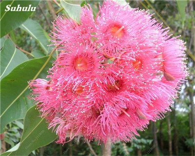 100 PC/Beutel seltene Regenbogen-Eukalyptus-Blüte Samen, Tropischer Baum Samen, Eukalyptus-Anlage für Hausgarten Zier Bonsai 18