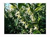 Planta aromática de invierno para jardín, floración...