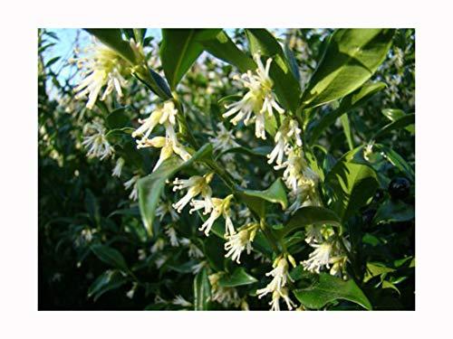 """Duftende Gartenpflanze, Winterblüher """"Sarcococca confusa"""", Weihnachts-Buchsbaum, 5cm"""