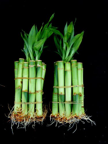 20 Stalks of 4 Inches Straight Lucky Bamboo