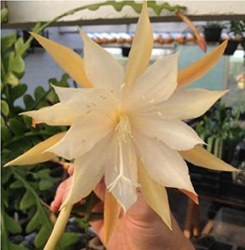 Fiore - Cactus - Epiphyllum anguliger - 20 Semi