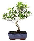 Bonsai - Ficus, 8 Años (Bonsai Sei - Ficus Retusa)