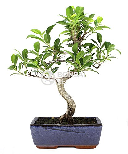 Bonsai - Ficus, 8 Años (Bonsai Sei - Ficus Retusa)