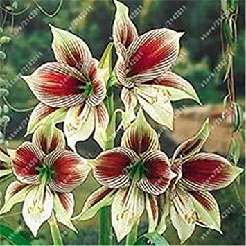 GEOPONICS 5: Echte Amaryllis Zwiebeln, Hippeastrum Glhbirnen Bonsai nzwiebeln Amarilis Rizomas seedos Barbados Lily Bonsai-Garten SEEDA -2 Birne 5 nur samen