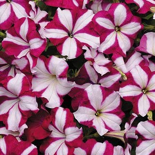 Easy Wave Burgundy Star Petunia Seeds Seed Pack