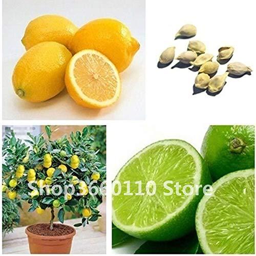 TOMHY Essbare Früchte Pflanze Meyer Lemon Bonsai, Exotic Citrus Bonsai Lemon Tree Frische Pflanzen Fruchtgemüse Seedsplants