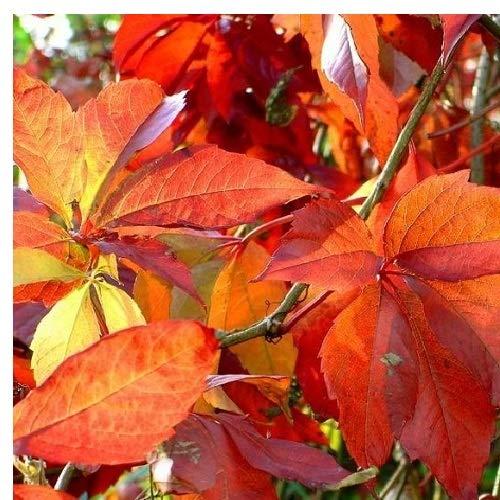 selbstklimmender Mauerwein 'Engelmannii' (Parthenocissus quinquefolia 'Engelmannii') - Rot und Winterhart - 1.5 Liter Topf | ClematisOnline Kletterpflanzen & Blumen