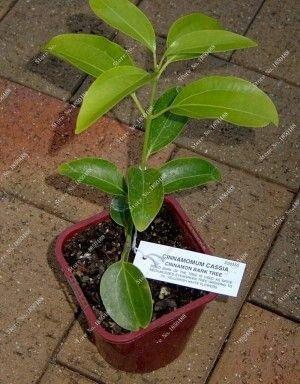 naines graines d'arbres graines de cannelle, graines de bonsaï d'intérieur, Bonsai 3pcs feuilles persistantes d'arbres semences
