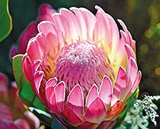 Protea Compacta Bot River Sugarbush Beautiful Pink Flowers 5 Seeds Amazing Rare