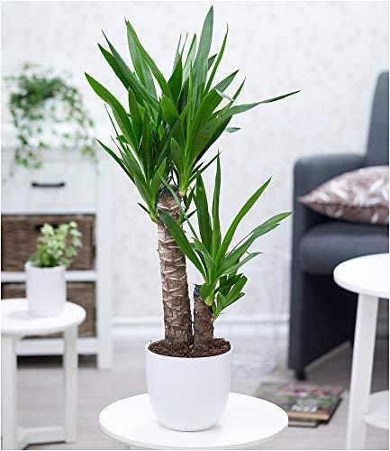 BALDUR Garten Yucca Palme ca. 70 cm hoch, 1 Pflanze Zimmerpalme Palmlilie Zimmerpflanze
