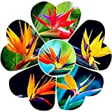 Benoon Strelitzia Seeds, 100Pcs / Bag Strelitzia Seeds Bonito Bricolaje Color Mezclado Reginae Planta En Maceta Semillas De Flores Para El Hogar Semilla de ave del paraíso