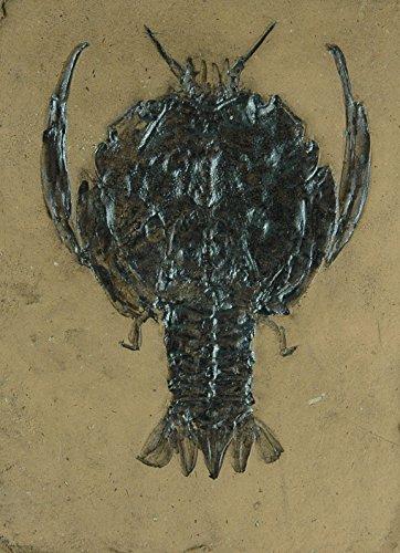 Fossile Replik eines Pfeilschwanzkrebs aus der Jura Zeit; Fossil, Dino, Nachbildung Tierfossilien Tiere Fossil Fliese Fliesen