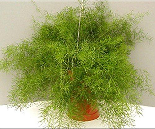 Graines de fleurs Asparagus densiflorus Sprengeri fougère vivace intérieur