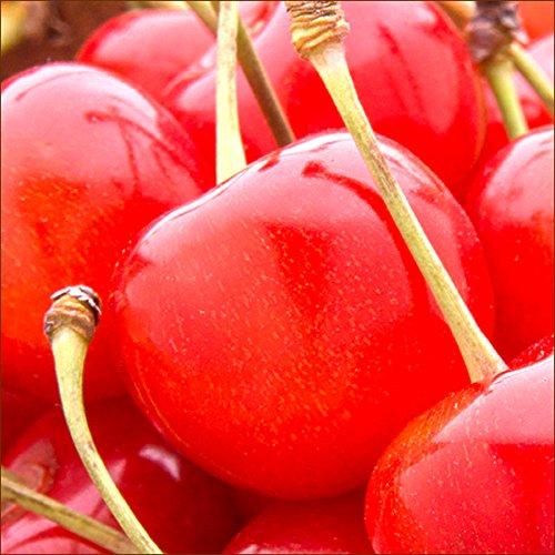 お中元 北海道 増毛町産 さくらんぼ 紅秀峰 500g(秀品/2Lサイズ以上/手詰め/桐箱入り) 北海道産 サクランボ 果物 フルーツ お取り寄せ