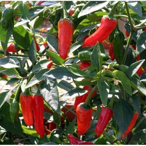 TOMHY Seeds Package: New Pack Kings Vegetable Seeds Chilli Pepper 'Apache' Hot Peppers