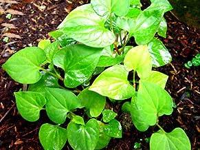 20 Live Bare Root Fish Mint Houttuynia Cordata Asian Herb Starter Plants Rare MHWK25