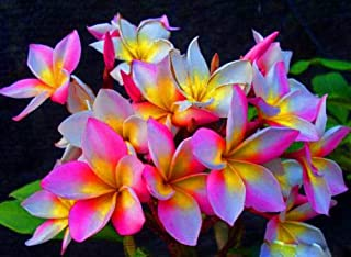 HIGH Germination Seeds:ROUGLINE Fragrant Plumeria Cutting with Rooted 7-12 INCH +Free Phyto
