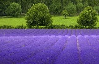10000 TRUE ENGLISH LAVENDER VERA Lavender Augustifolia Vera Herb Flower Seeds