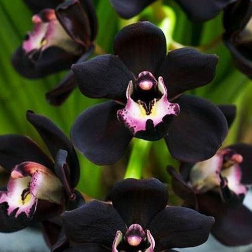 Green Seeds Co. 100 unids plantas de orquídeas de verano colorido balcón bonsai flores en macetas raras planta bricolaje regalo para el hogar jardín granja orquídeas plántulas: naranja