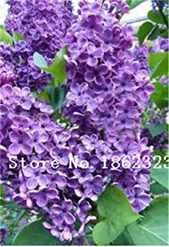 prime vista 100 Unids/Bolsa Bonsai Lila Bonsai Lila Japonesa (Extremadamente Fragante) Clove Flower Bonsai Lilac Outdoor Plant for Home Garden: 13