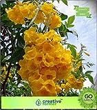 Pinkdose Angiosperme Subramanyakiretam Fleurs jaunes fleurs à planter des graines pour l'automne Bonsai Jardin des Plantes Graines de fleurs Graines