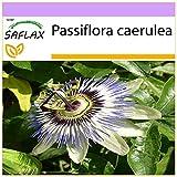 SAFLAX - Flor de la pasión - 25 semillas - Passiflora caerulea