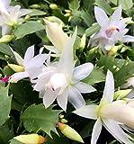 """White Christmas Cactus Plant - Zygocactus - 4"""" Pot"""