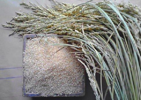 生きた玄米でリジュベラック簡単にできます。無農薬 無施肥 国産 コシヒカリ100g