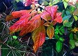 Ludwigia sp. 'Atlantis' / Ludwigia spec. 'Dark Orange' In-Vitro