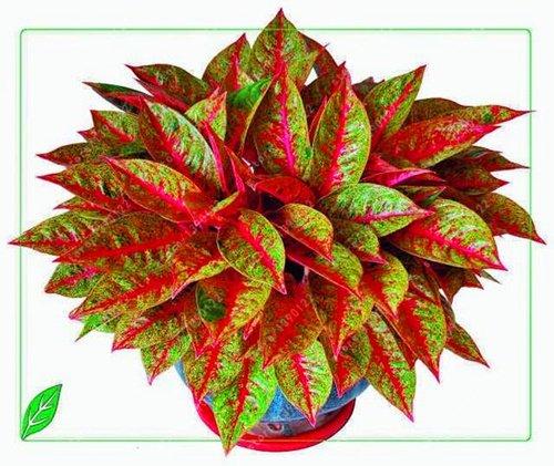 50 PC/bolso Aglaonema 'Pink Dud', hermosas plantas de hoja perenne mosaico semillas de árboles de flores, Planta de interior jardín de su casa en maceta 2