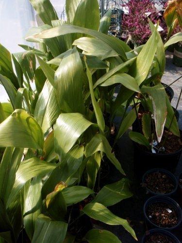 Gardensoyvey Pflanze, Gusseisen, Aspidistra Elatior