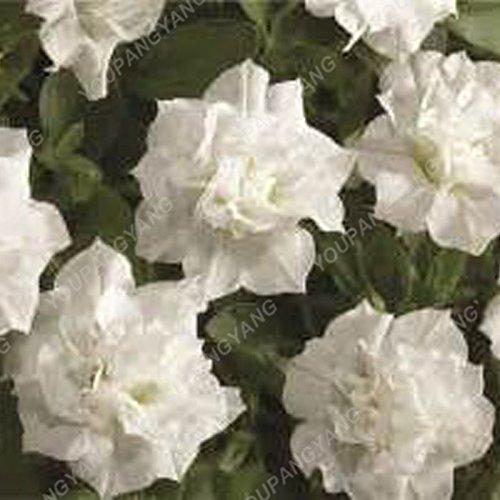 200 pcs/sac double Petunia Graines Balcon Oblique Petunia pot de fleurs Graines Bonsai Pétunia multi-couleurs végétales pour jardin Plum