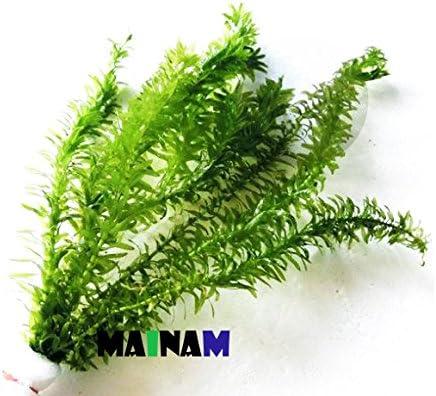 Mainam Anacharis Elodea online shopping Densa Tropical Plants Live 5 ☆ popular Aquarium Fres