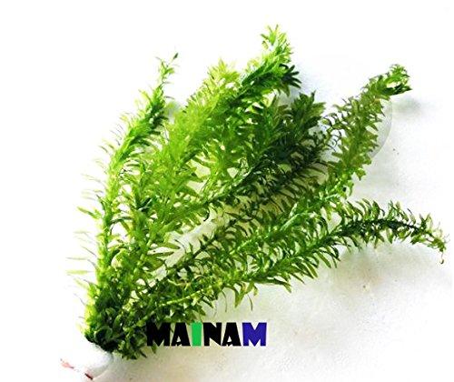 Mainam Anacharis Elodea Densa Tropical Live Aquarium Plants Freshwater Aquatic...