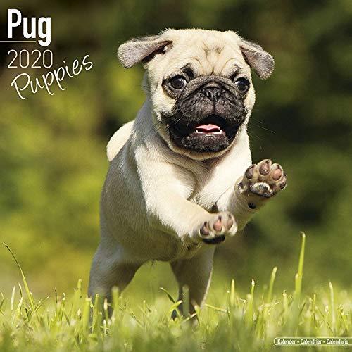Pug Puppies Calendar 2020