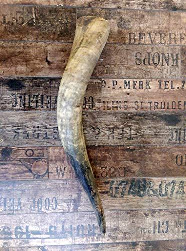 Naturhorn Watussi Longhorn, ca. 50-55 cm, 1,0-1,4 Liter Volumen, für Met-Wikinger-LARP- Mittelalter-Drinking Horn-Methorn, Germanenhorn, ein echtes Wikinger Geschenk