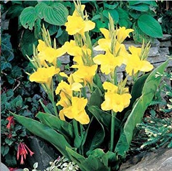 Fash Lady Blanc: Graines de fleurs Graines en pot Graines de Lys Canna - PRETORIA - Feuillage panaché - Livraison de fleurs exotiques 20 pcs B083