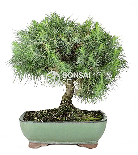 Bonsai - Pino de alepo/ Pim carrasco, 9 Años (Bonsai Sei -...