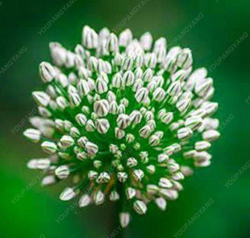 30pcs/sac géant oignon (Allium giganteum) graine rare bonsaïs fleur belle fleur plantes en pot jardin Livraison gratuite Jaune clair