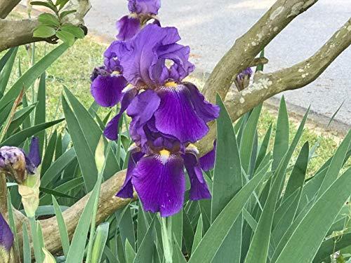 Purple Bearded Iris Plant (Iris Germanica) (Purple)